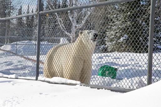Riding The North Cochrane Polar Bear Habitat