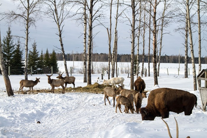 Cedar Meadows Resort-Timmins-Gold Rush Tour-Hand-Animals Grazing-Virgil Knapp-6901 small